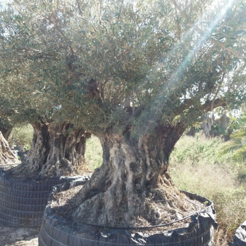 oliviers les mill naires vente d 39 oliviers et de palmiers dans le vaucluse proche de gard. Black Bedroom Furniture Sets. Home Design Ideas